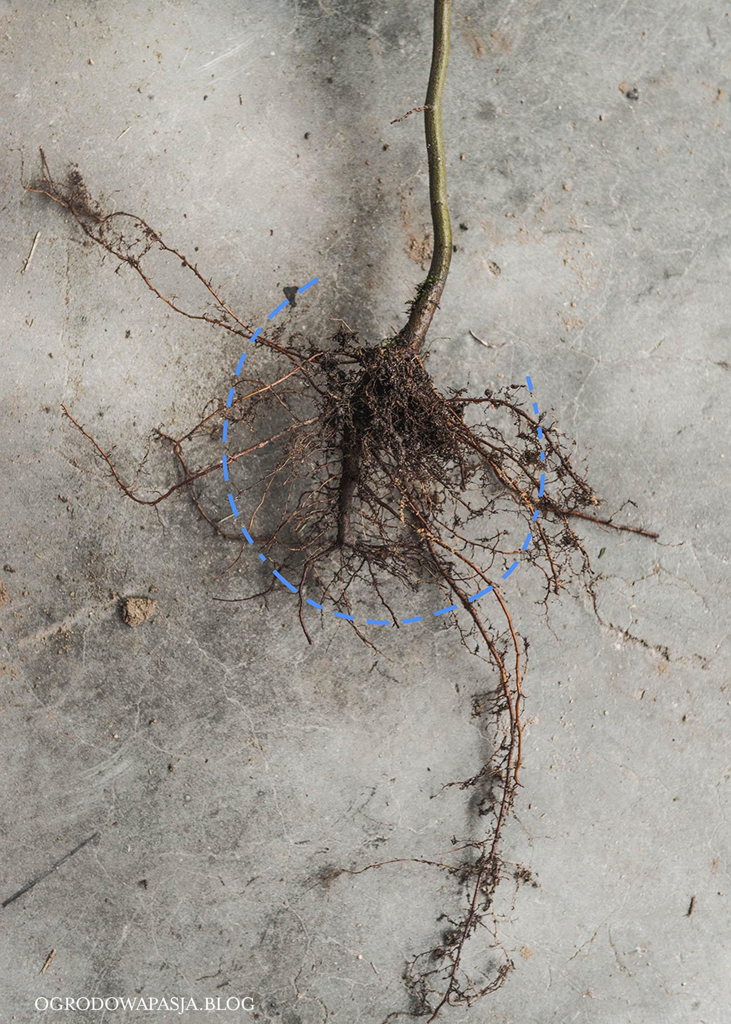 żywopłot z grabu sadzenie