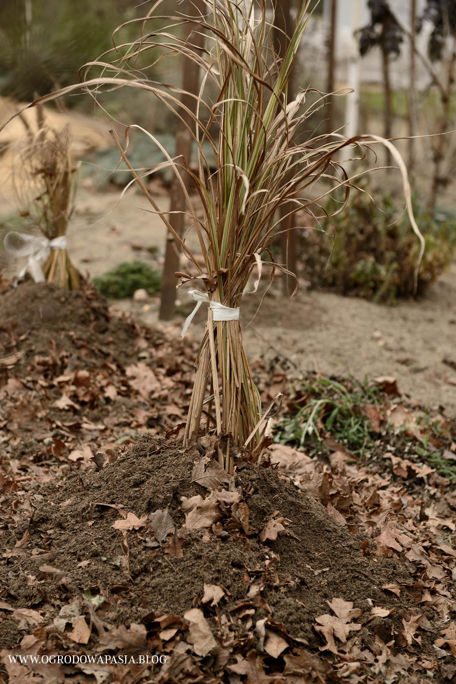 okrywanie roślin na zimę trawy ozdobne