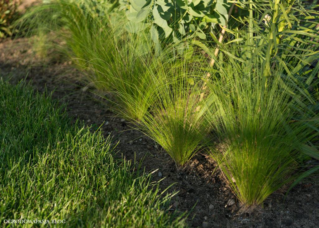 trawa ozdobna z nasion