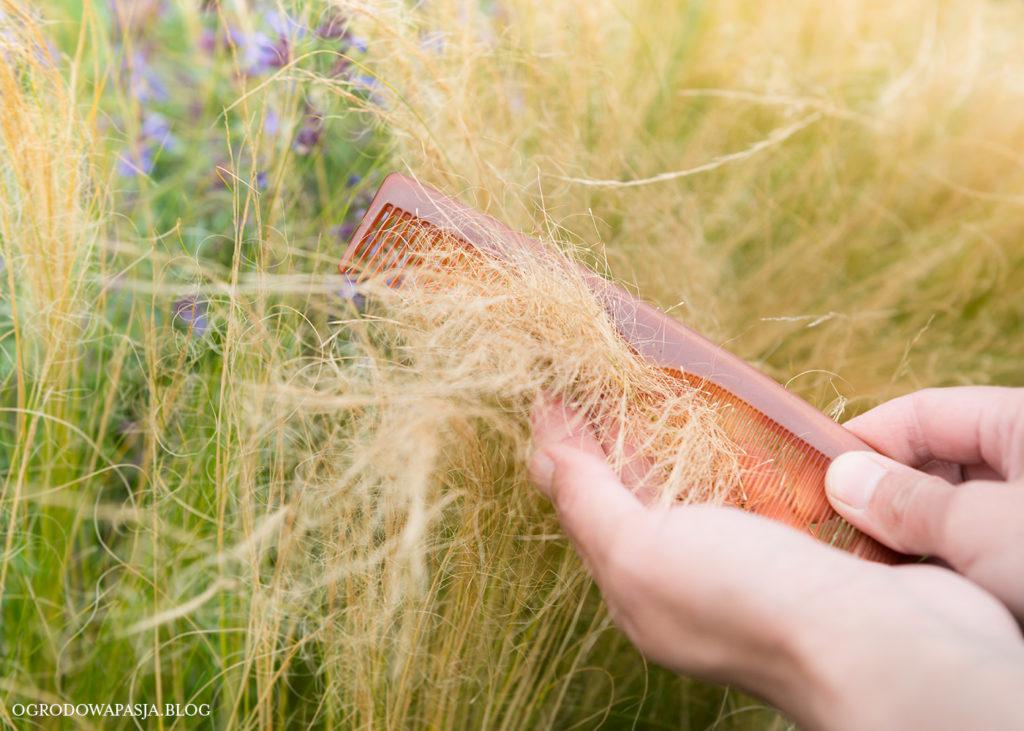 wyczesywanie traw