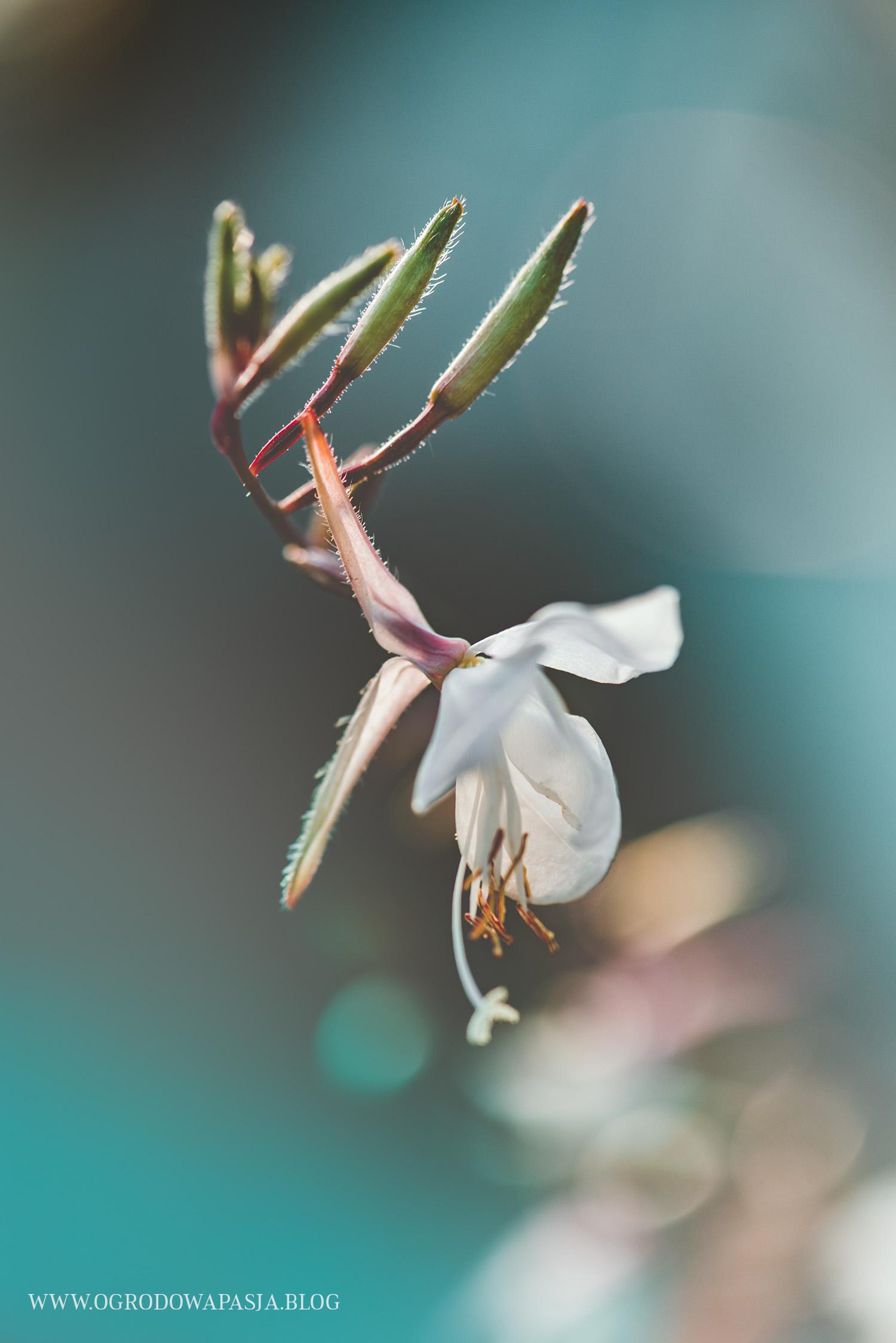 gaura kwiat