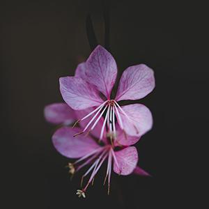 gaura różowa