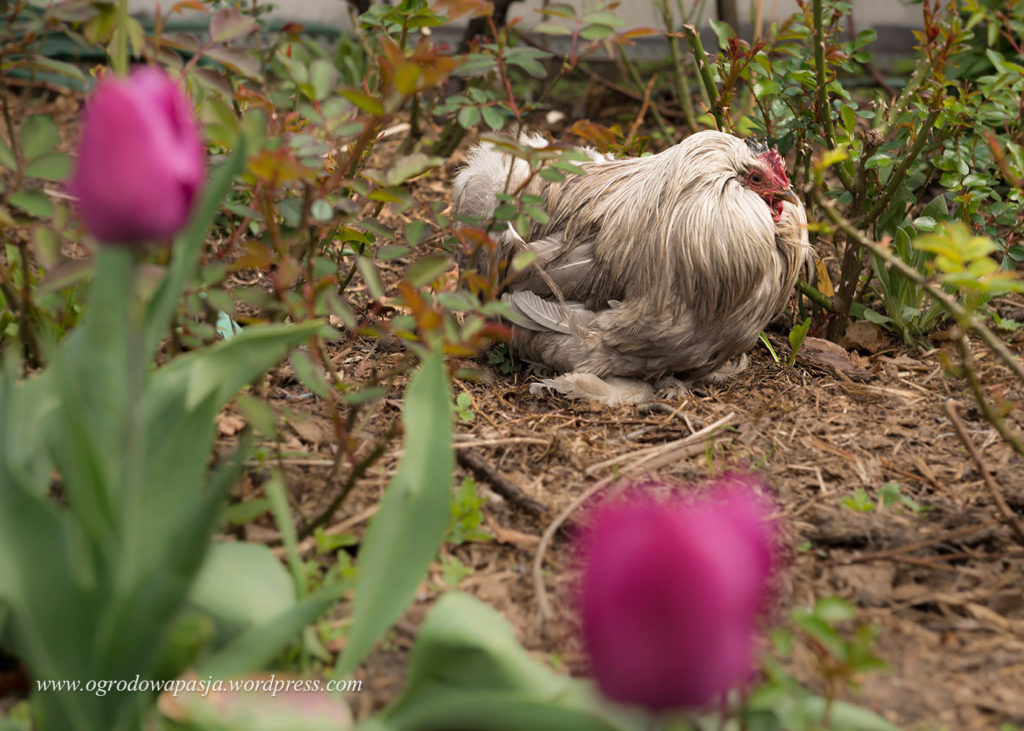 kurka ogrodowa