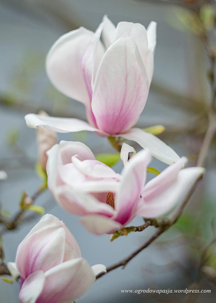 najpiękniejsze magnolie