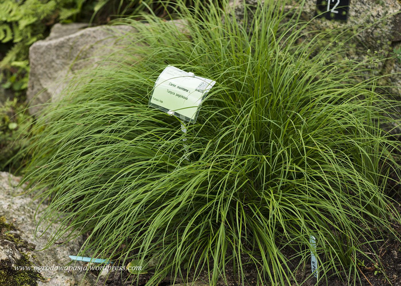 Turzyca pagórkowa (carex montana)