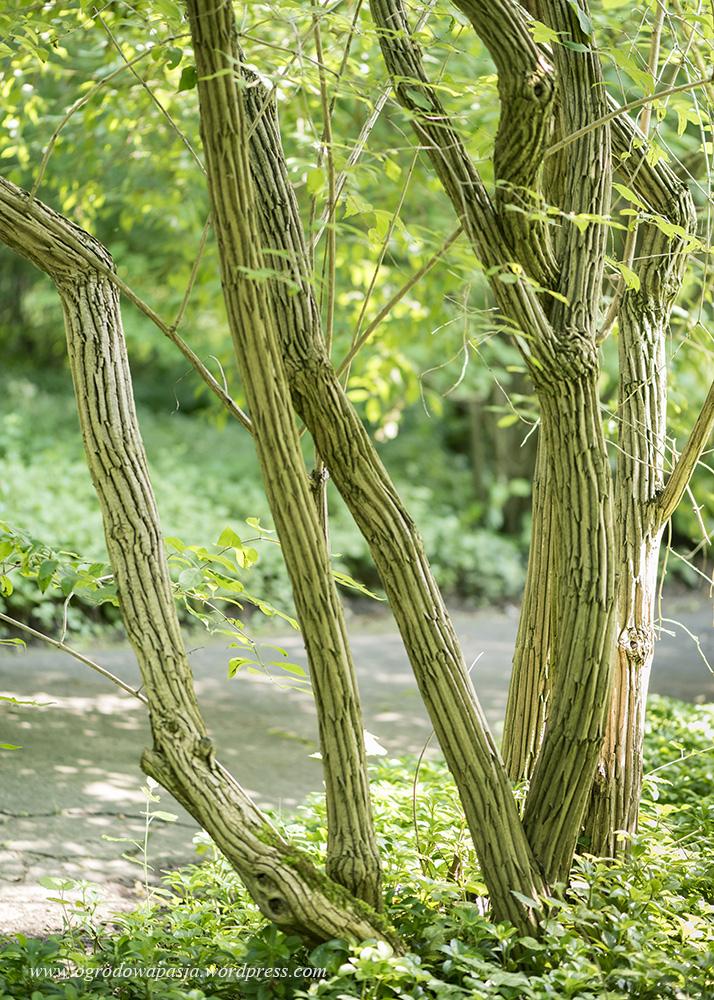 Suchodzrew Maximowicza (Lonicera maximowiczii)
