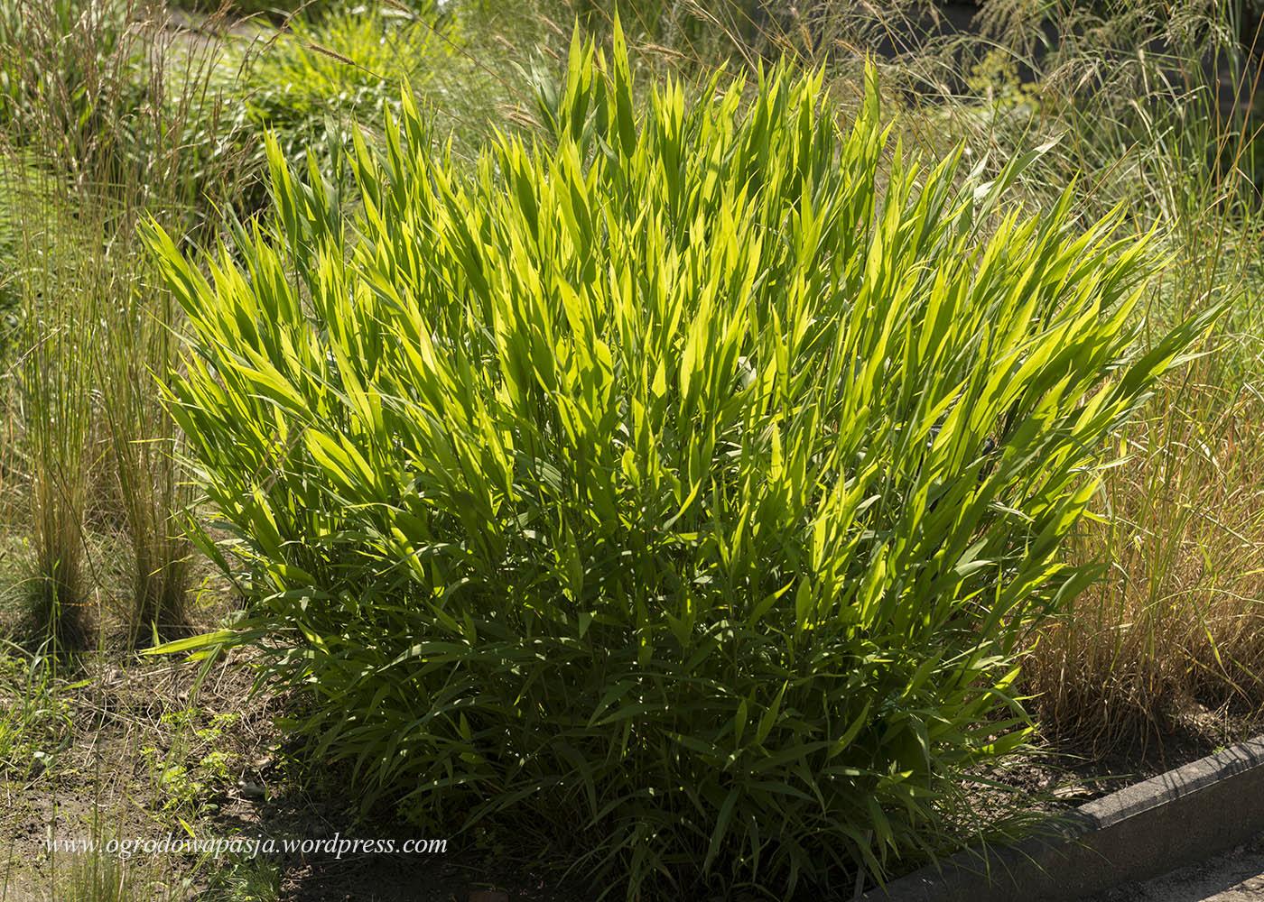 Owadzica szerokolistna czyli coraz popularniejsza obiedka szerokolistna (Chasmanthium latifolium)