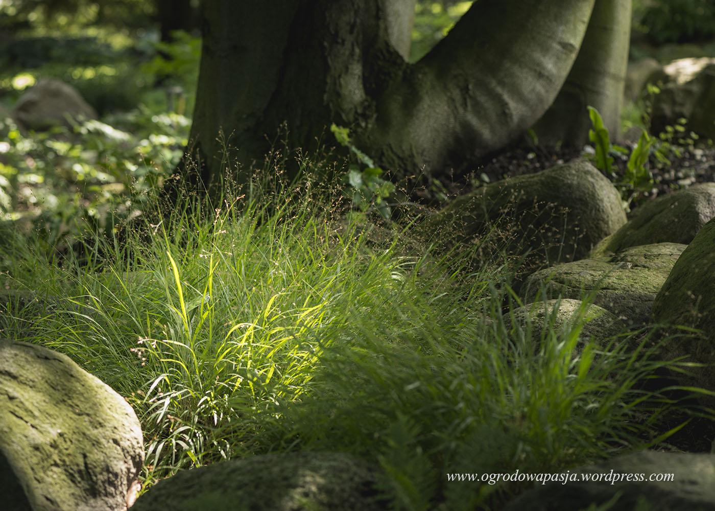 Perłówka jednokwiatowa (Melica uniflora)