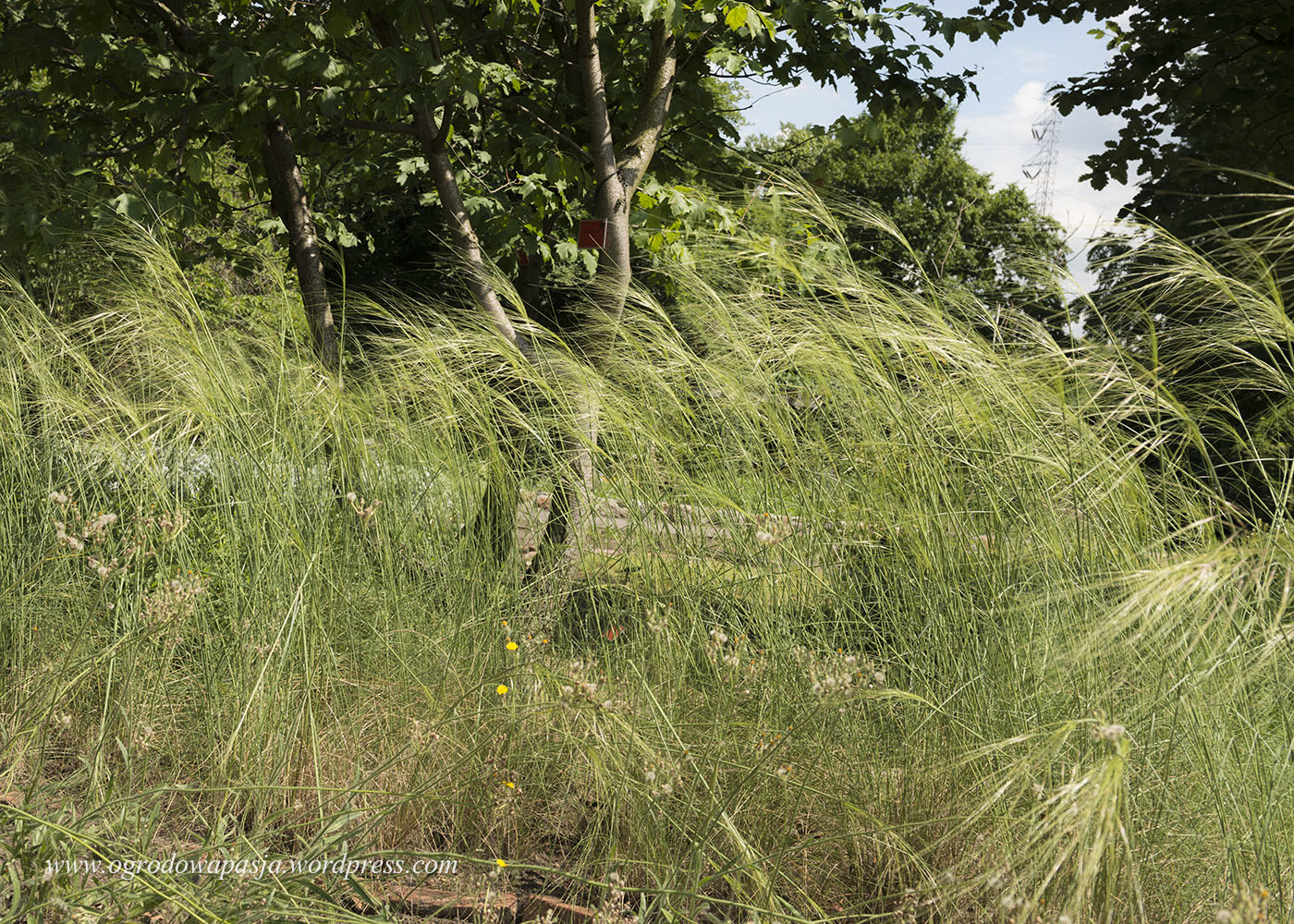 ostnica włosowata (stipa capillata)