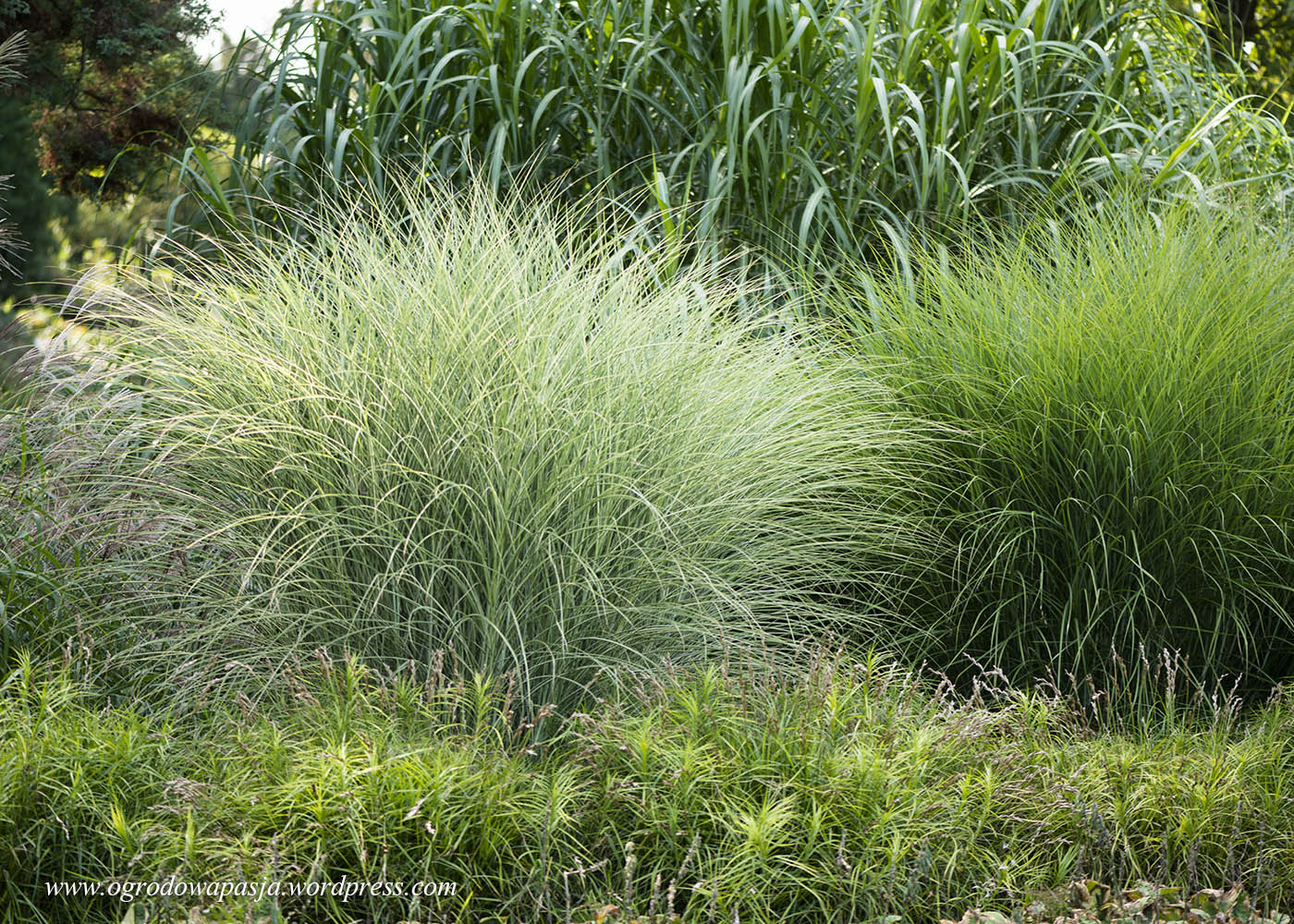Miscanthus sinensis Gracillimus, Miscanthus sinensis Morning Light