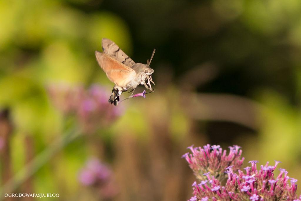 owad jak koliber