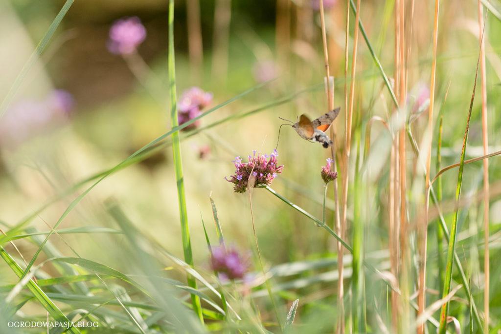 koliber w ogrodzie