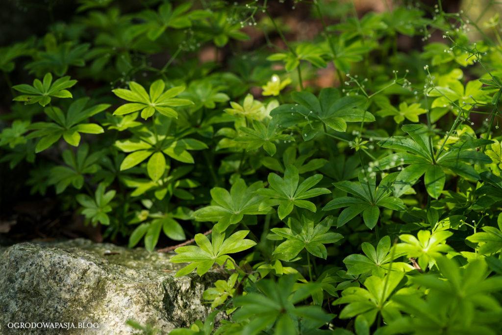 przytulia wonna Galium odoratum