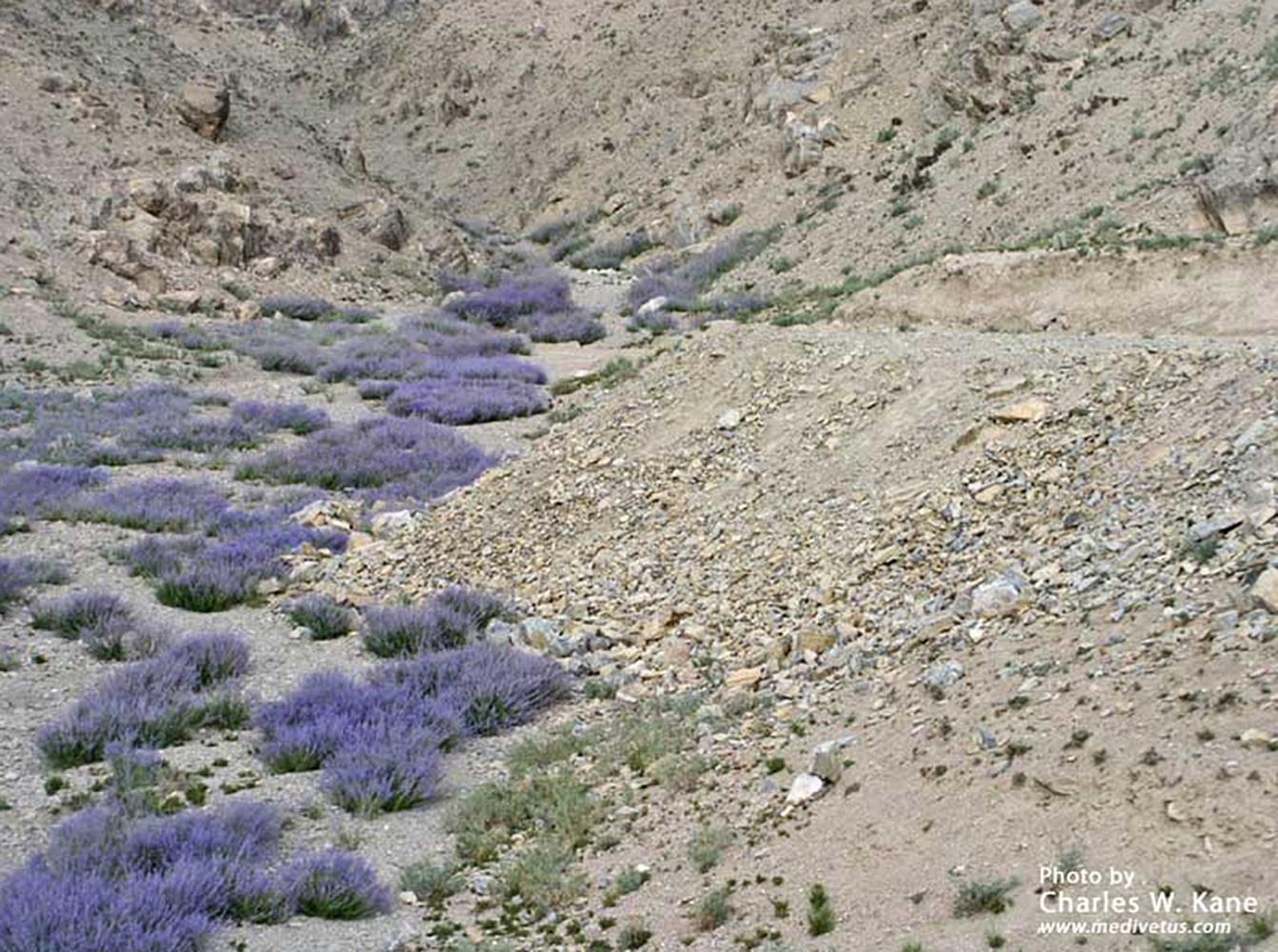 perovskia-atriplicifolia-_-russian-sage-_-medicinal-uses-_-charles-w-kane-_-applied-medical-botany-2