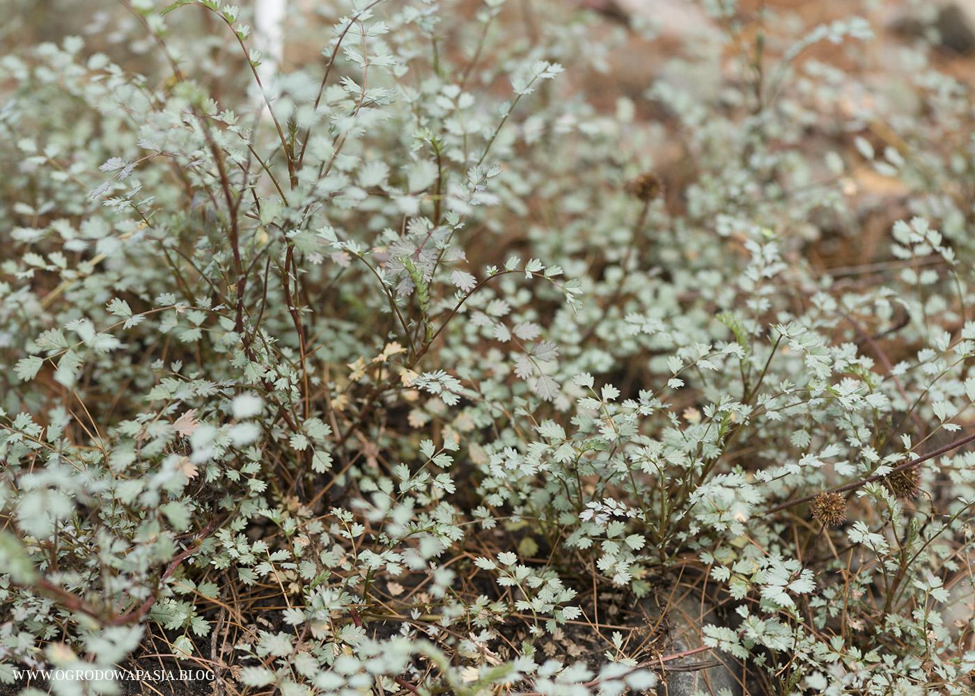 Acena mieszkowata Acaena saccaticupula
