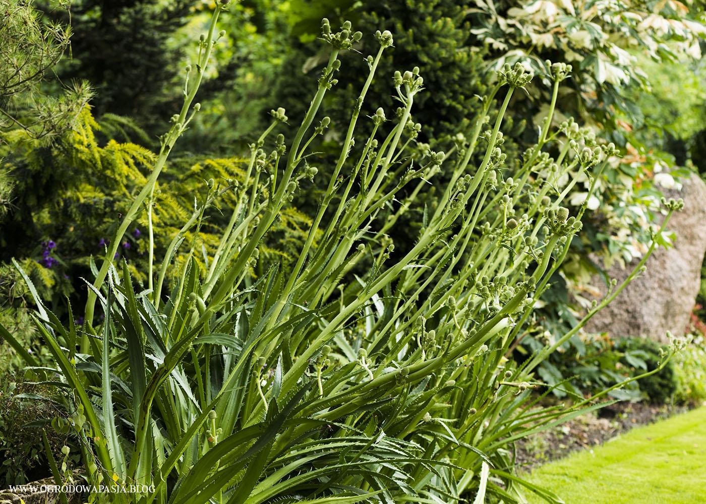 Mikołajek agawolistny Eryngium agavifolium