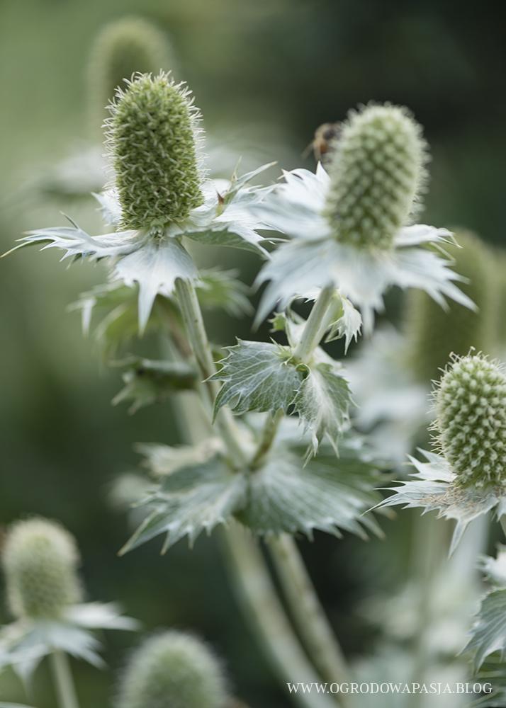 Mikołajek olbrzymi roślina