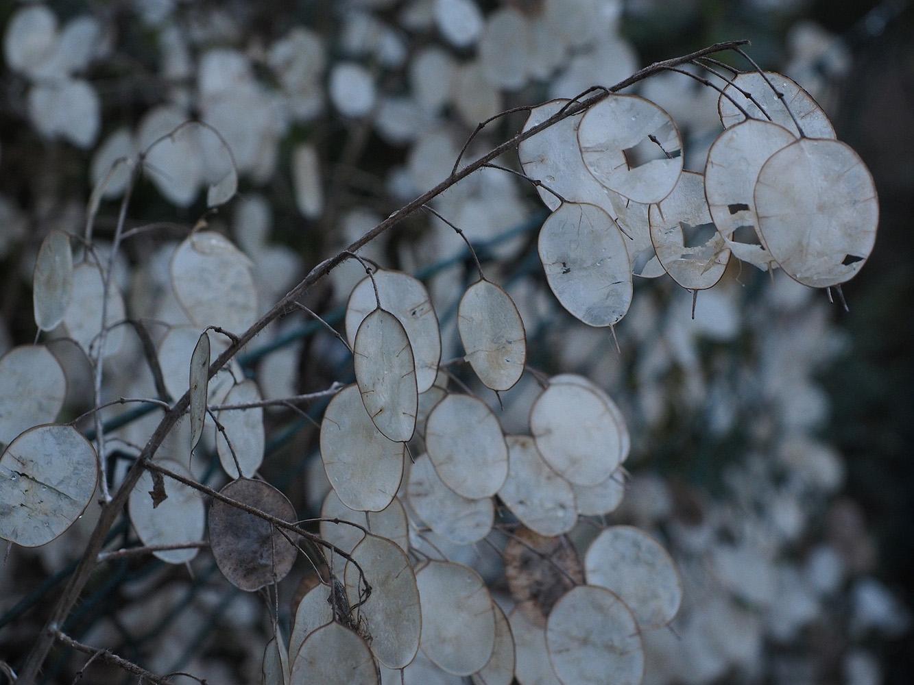 miesiącznica roślina