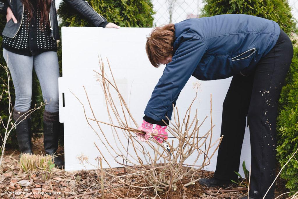 przycinanie krzewu hortensji