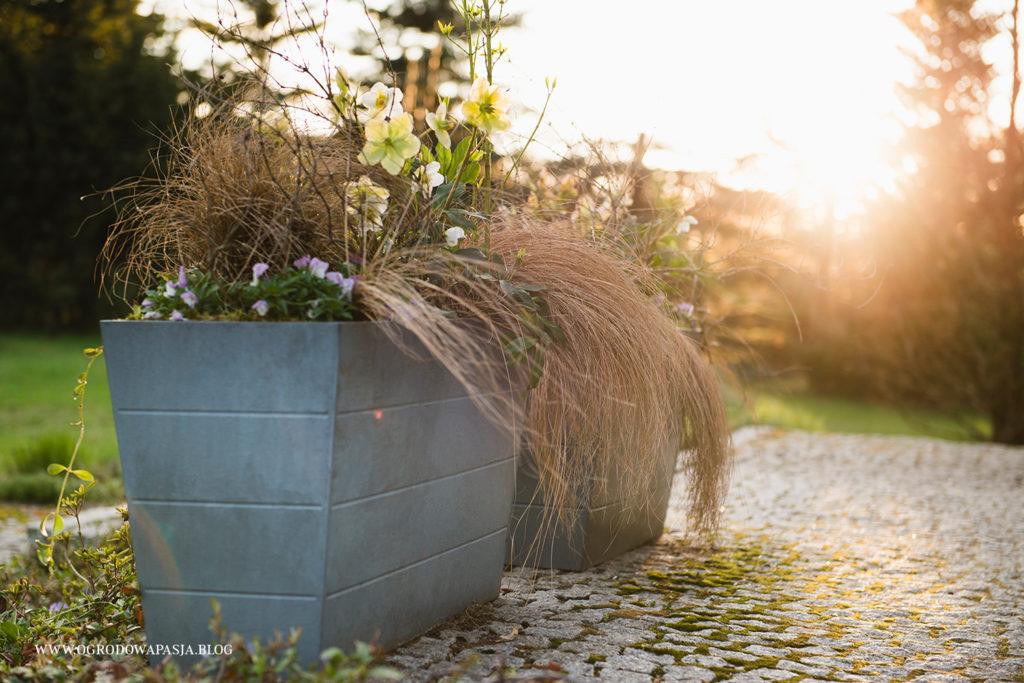 ciemierniki w donicach - wiosenna dekoracja