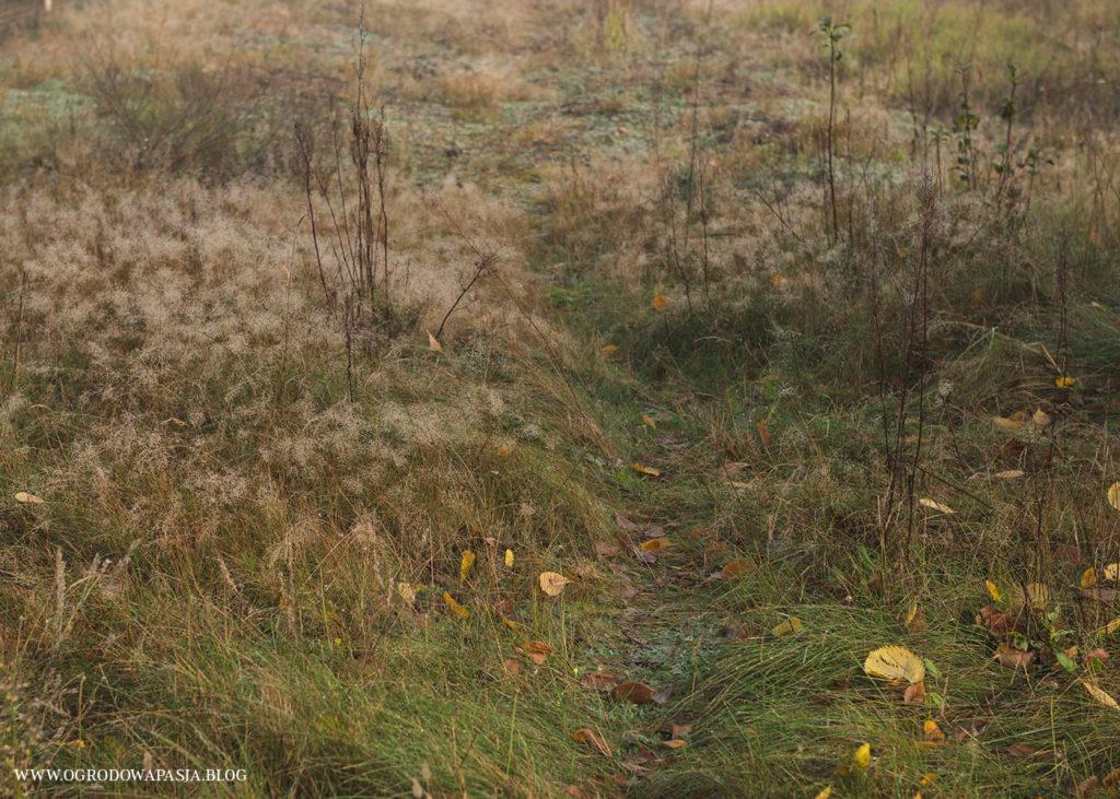 mietlica agrostis lawn