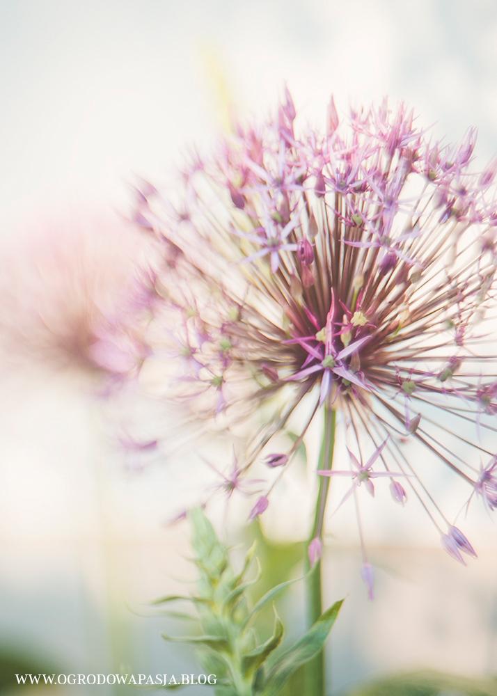 czosnek kwiat