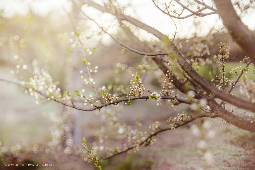 drzewo owocowe kwitnące na biało