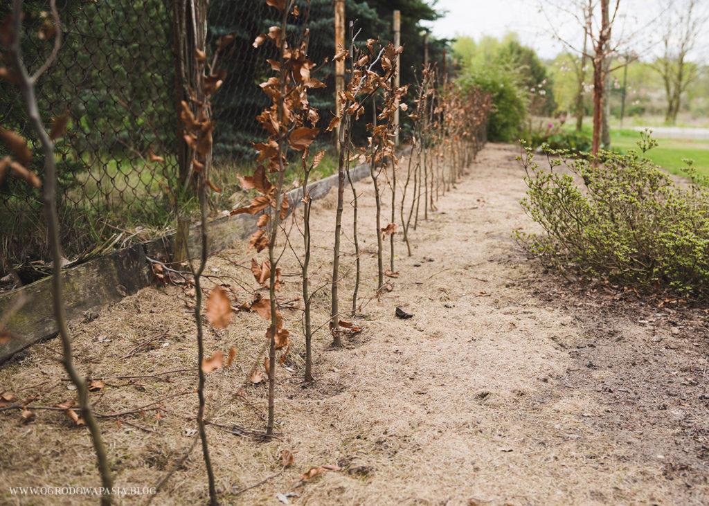 żywopłot bukowy sadzenie