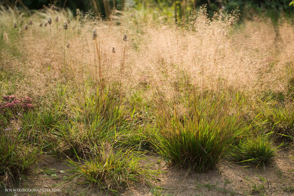 trawy ozdobne kwitnące