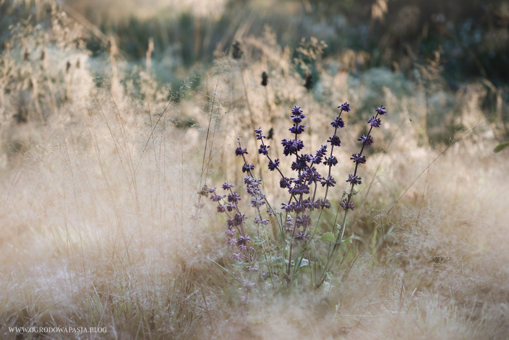 szałwia okręgowa purple rain