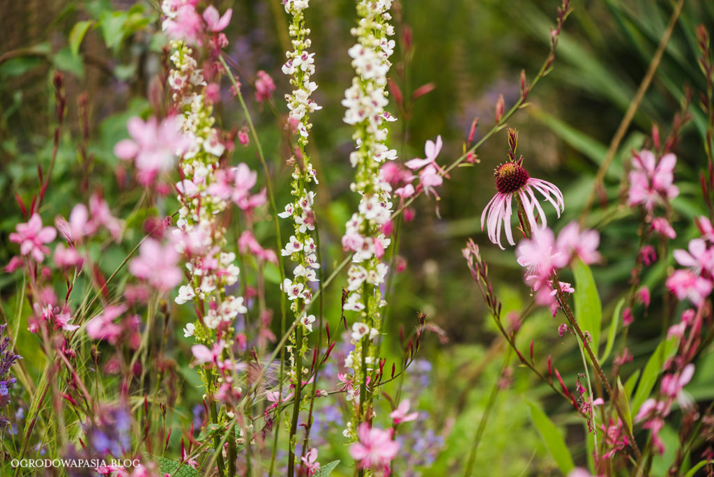 Echinacea pallida jeżówka blada
