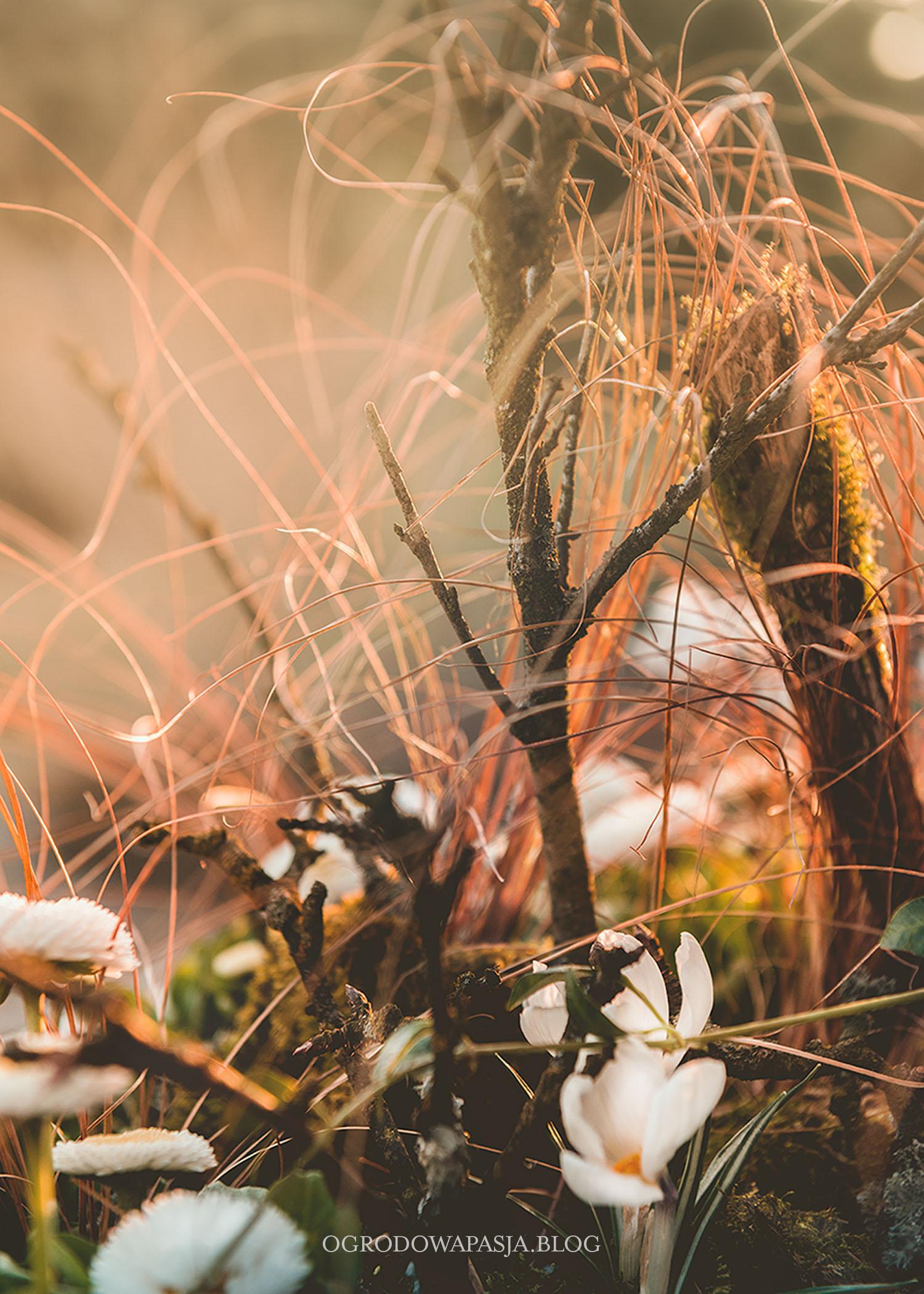 wiosenne kompozycje z krokusami