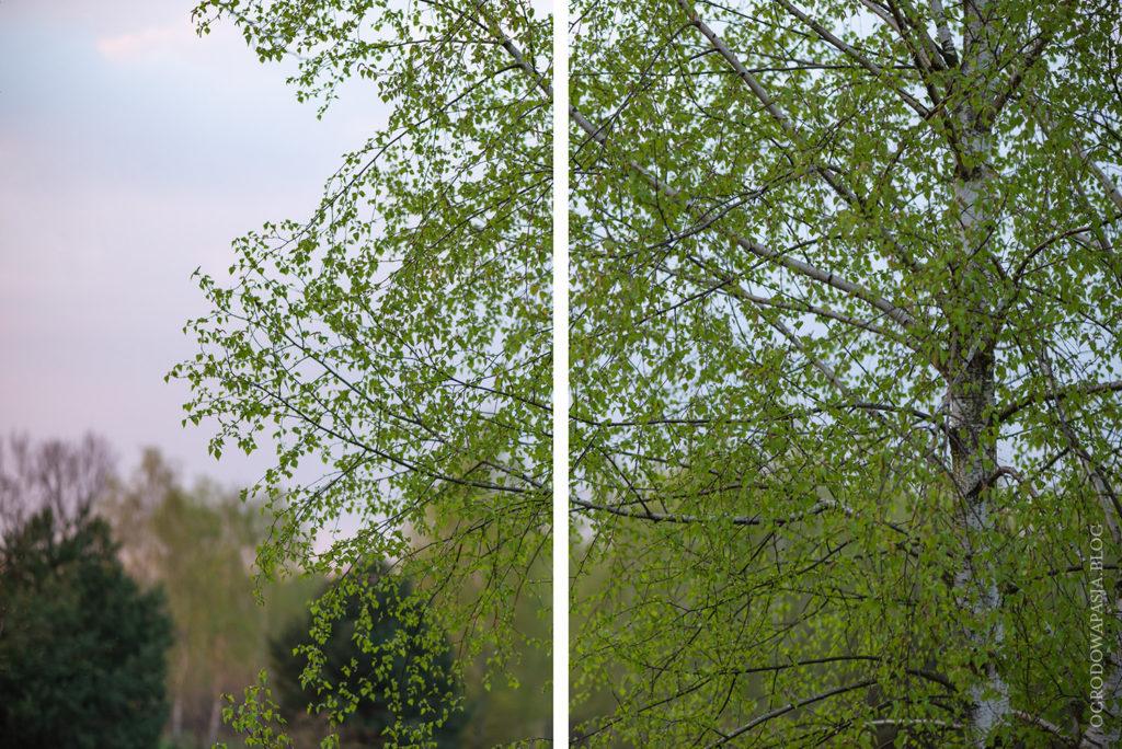 brzoza brodawkowata