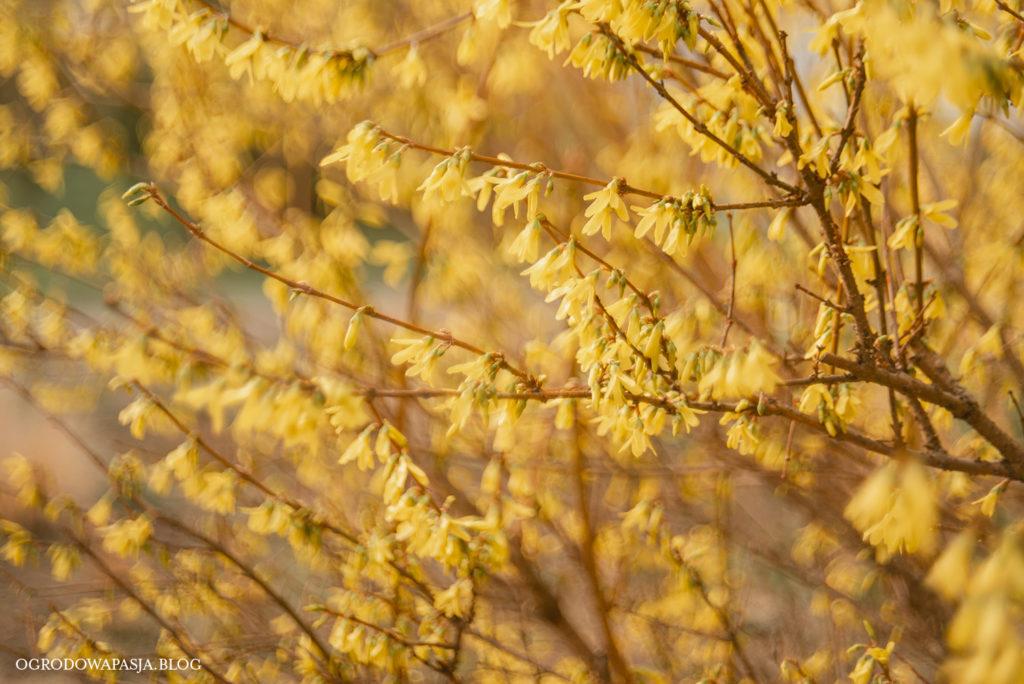 forsycja kwitnąca