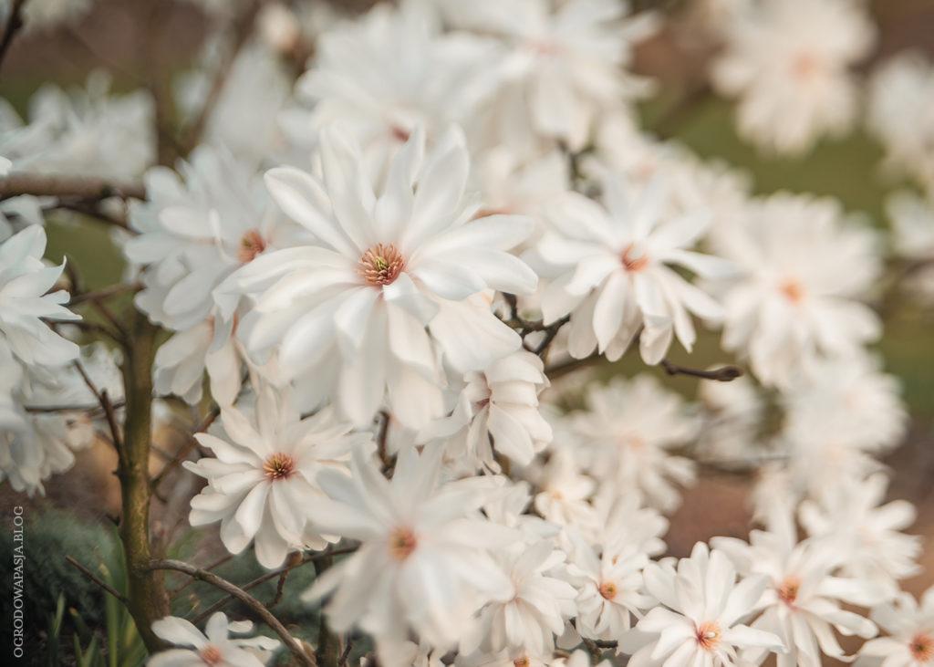 kwitnąca magnolia 'Powder Puff'
