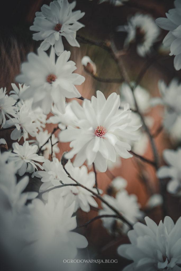 magnolia powdre puff