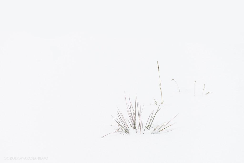 ostnica olbrzymia