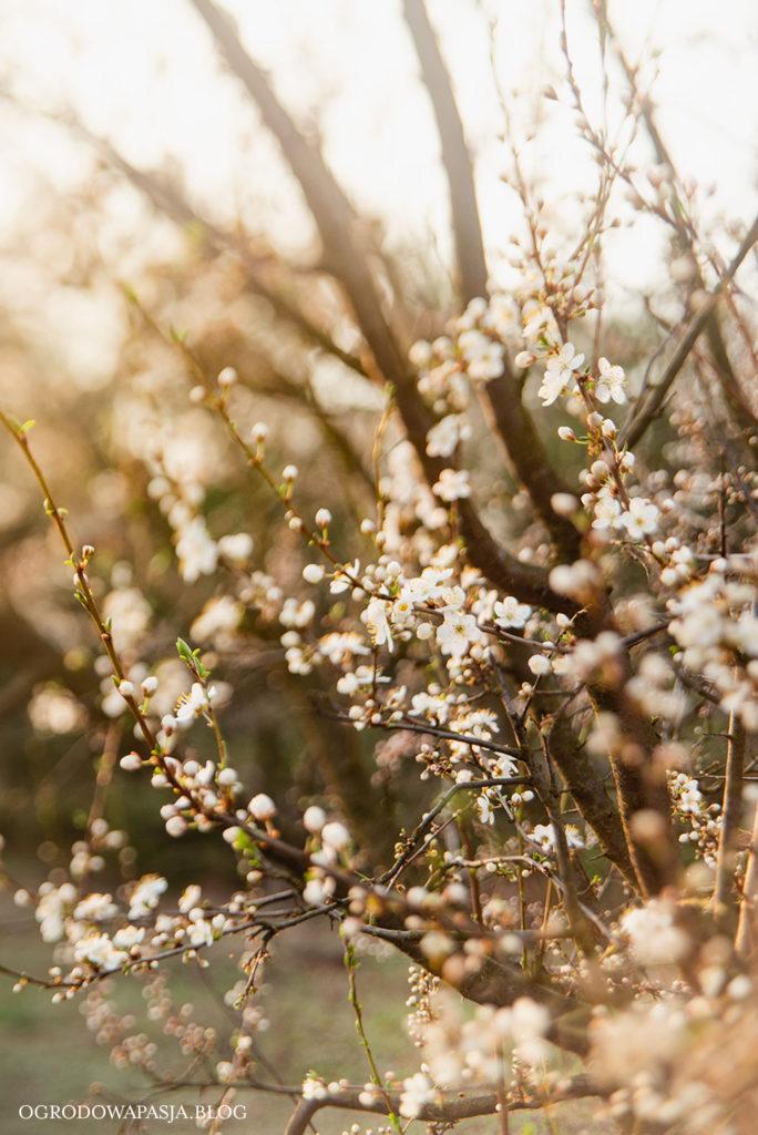 śliwa kwitnąca