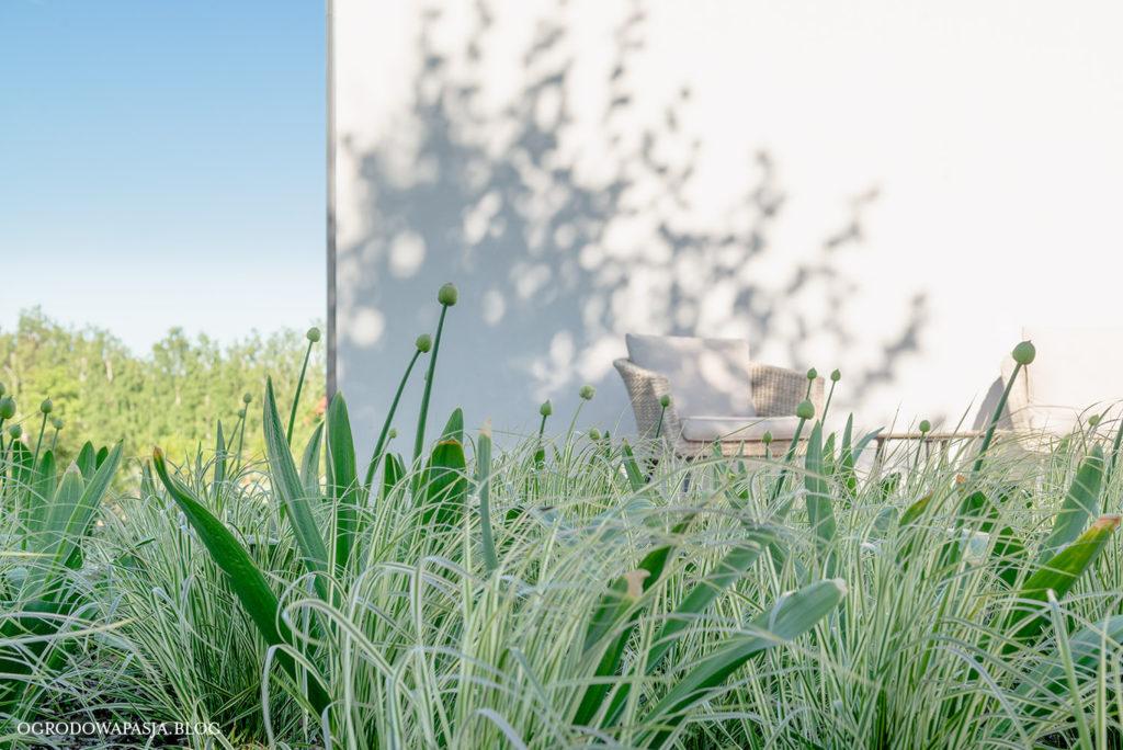 trawy ozdobne białoobrzeżone