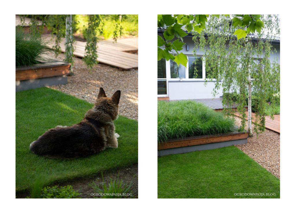zielony trawnik pies w ogrodzie